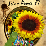 Sunflower seeds annuus Solar Power F1