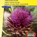 Artichoke Thistle, Cardoon