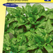 Spinach Breedblad Scherpzaad (Early spring and late autumn crop)