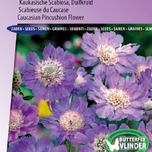 Caucasian Pincushion Flower, Perfection Blue