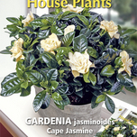 House Plants Gardenia Cape Jasmine