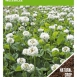 Green Manure Crop White Clover  / 100 gr - 100 m2