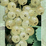 White Berry (White Currant)