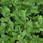 Buxus plants for sale