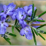Rosemary seeds for sale