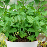 Lovage - Lavas (Container plant)