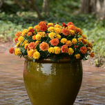 French Marigold 'Strawberry Blonde' F1