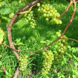 Grape 'Bianca' (Vitis)