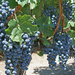 Grape 'Boskoop Glory' (Vitis)