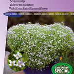 Violet Cress, Fals diamond flower Starry Blue Blaze