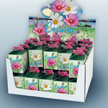 Greengift Cosmos mix 40 pcs in showbox