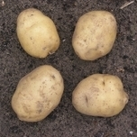 Seed-potato Actrice 1 kg