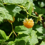 Rubus Raspberry Yellow