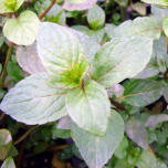 Peppermint Mentha piperita Senior