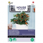 House Plants Jerusalem cherry New Paterson